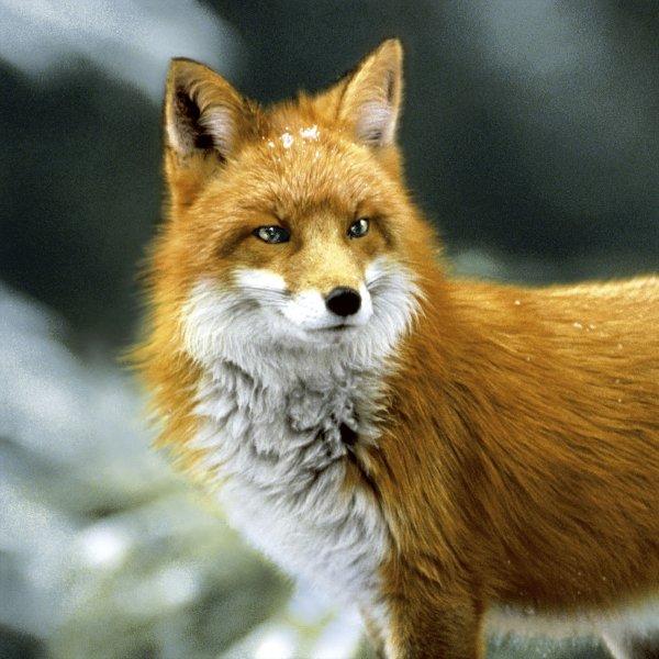 Papierservietten, Orange, 33 x 33 cm, Forest Fox